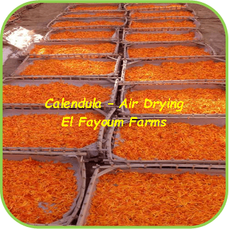 Calendula Air- Drying - El Fayoum