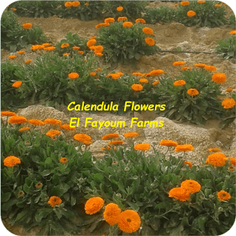 Calendula Flowers - El Fayoum Farms