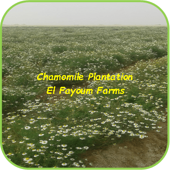 Chamomile Plantation - El Fayoum Farms