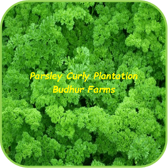 Parsley Curly Plantation - Budhur Farms