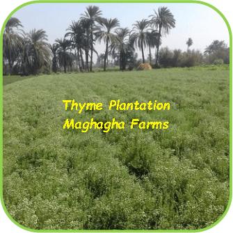 Thyme Plantation - Maghagha Farms