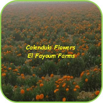 Calendula Flowers - El Fayoum Farms