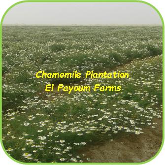 Chamomile Plantation - El Fayoum Farms