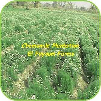 Chamomile Plantations - El Fayoum Farms
